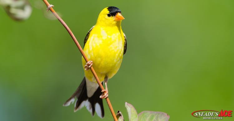 golden finches featured