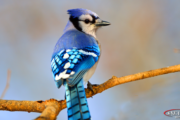 blue bird featured image