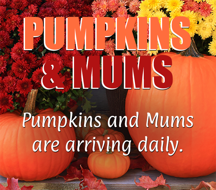 Pumpkins and Mums Featured